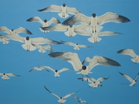 24 Gulls